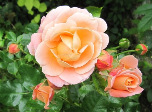 "Rose ""Amber Queen"" -