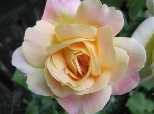 "Rose ""Peace"" -