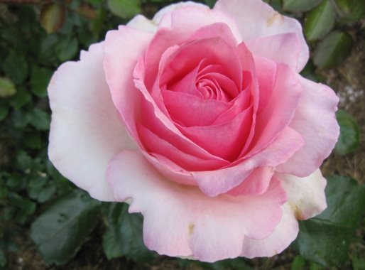 "Rose ""Queen Elizabeth"" - Foto AstrologenKari"