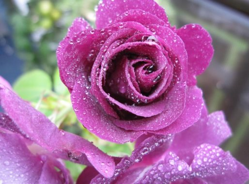 "Rose ""Rhapsody in Blue"" - med vannperler - 