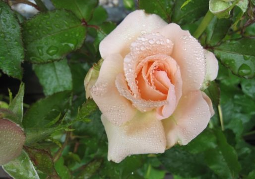 "Rose ""Morten Korch"" -