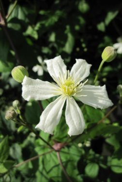 "Clematis ""Paul Farges"" = ""Summer Snow"" - 