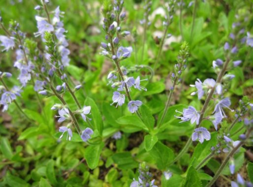Legeveronika - Veronica officinalis -