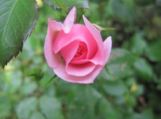 "Rose ""Bonica"" - Foto AstrologenKari"