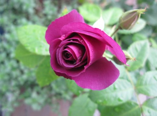 "Rose ""Rhapsody in Blue"" - Foto AstrologenKari"